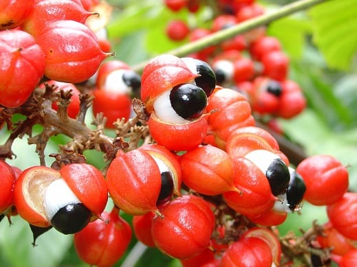 Le guarana – un boost au quotidien