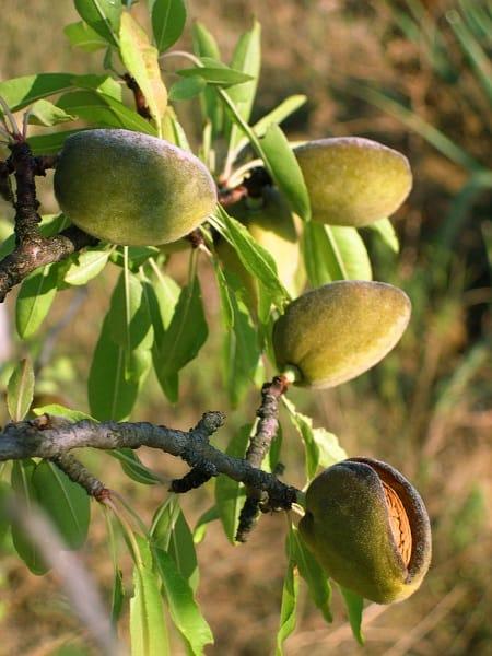 L'amande, un fruit aux nombreuses propriétés thérapeutiques