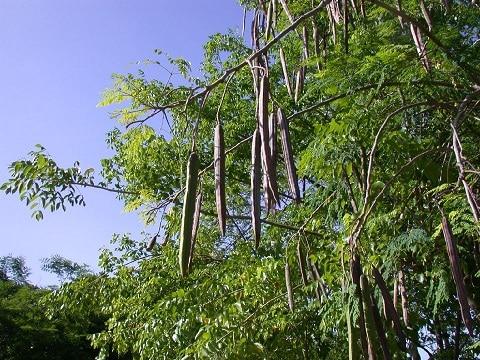 Les éléments nutritifs du moringa et ses vertus