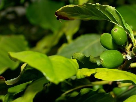 Le café vert – Un remède contre la fatigue et bien plus