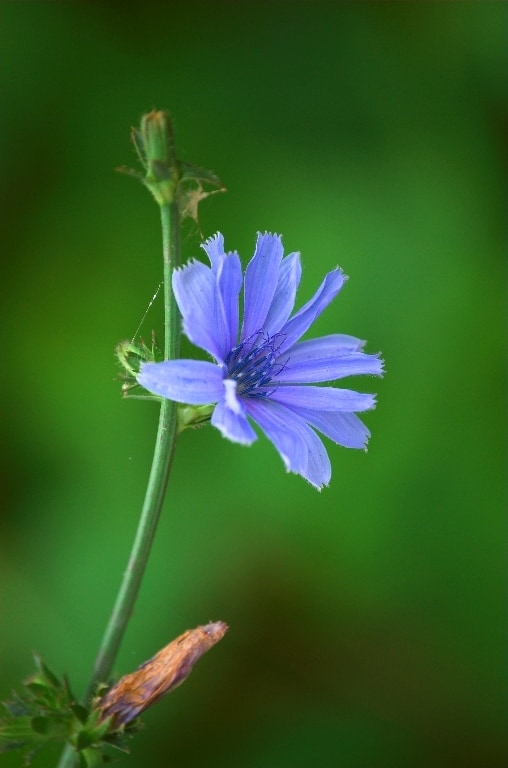 La chicorée – Une plante bonne pour le foie