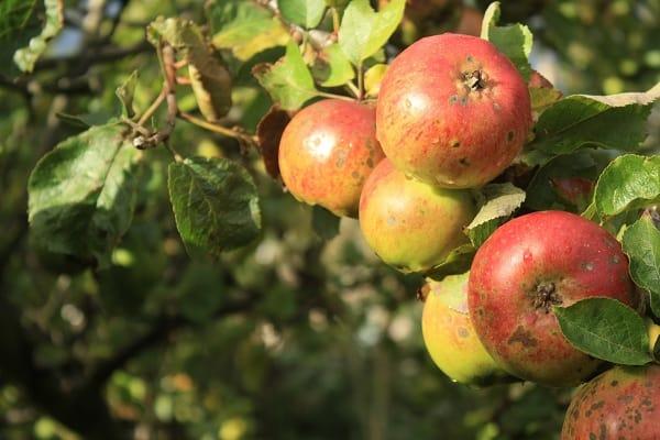 Une pomme par jour éloigne le médecin !