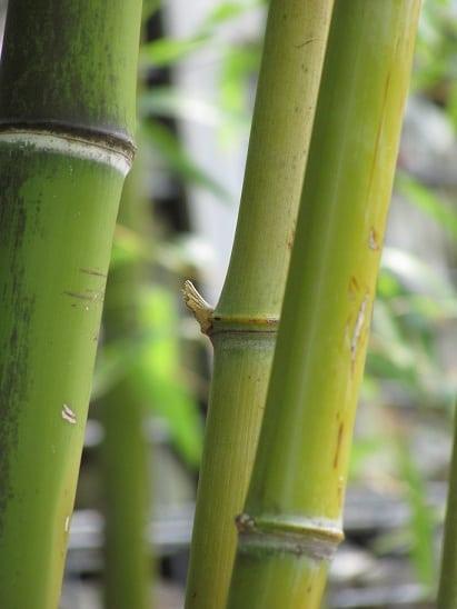 Le bambou, une plante efficace pour soigner plusieurs maux