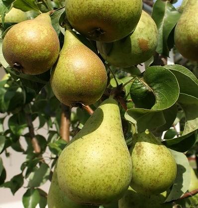 Les poires, un fruit aux nombreuses vertus