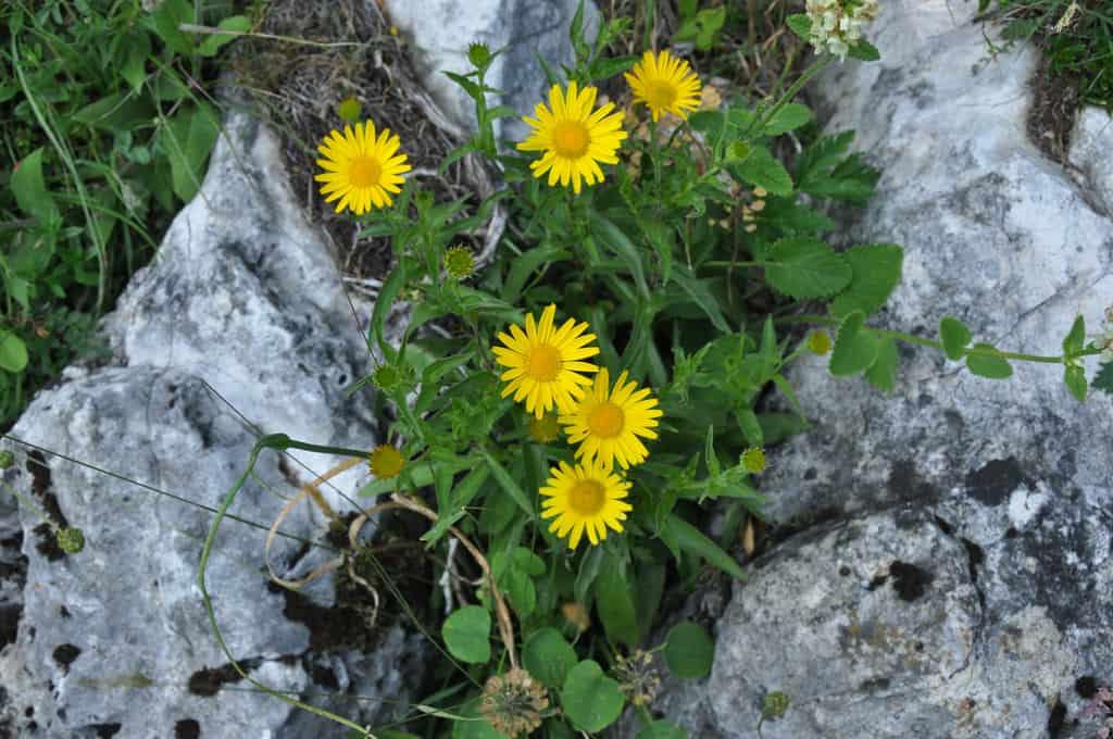 L'arnica, une plante à avoir dans sa pharmacie