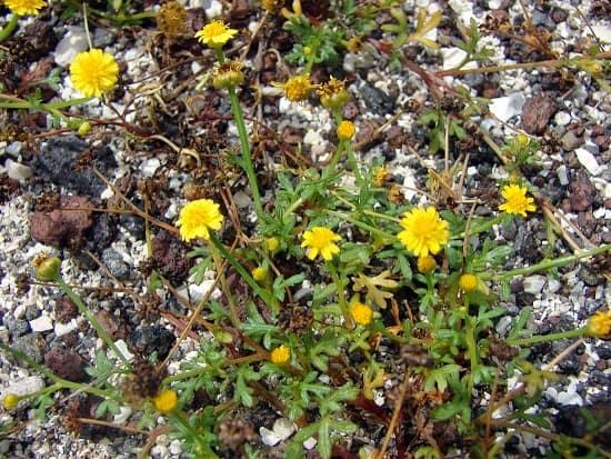 Le chrysantellum, la camomille dorée