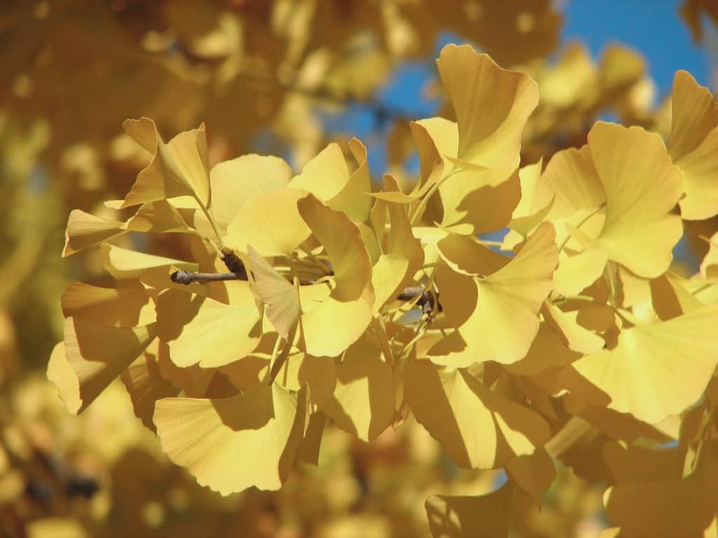 Le ginkgo, l'arbre aux mille écus