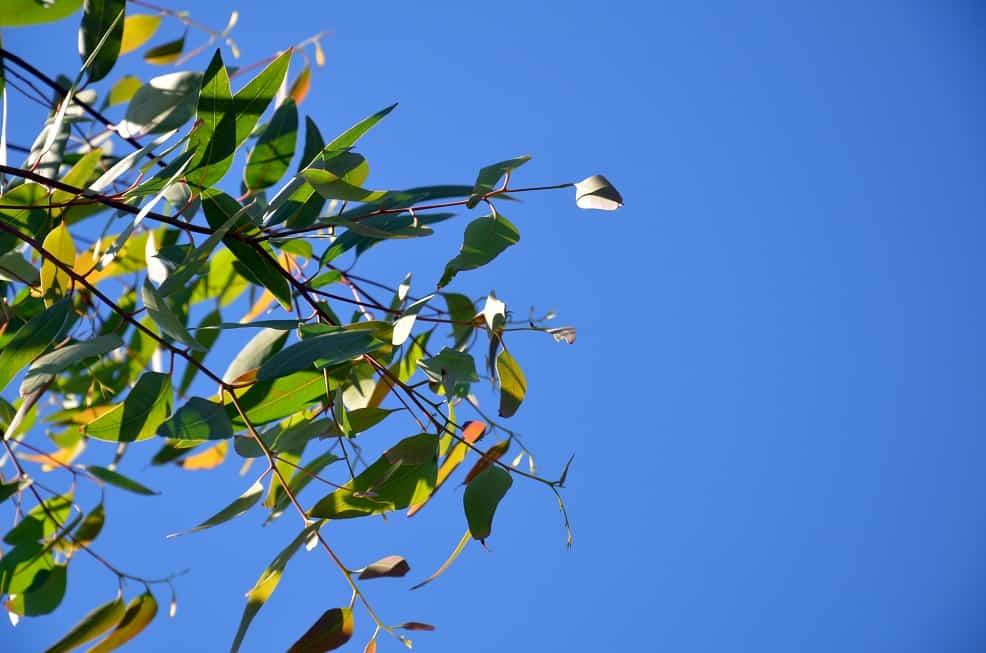 L'eucalyptus, le remède contre les affections respiratoires