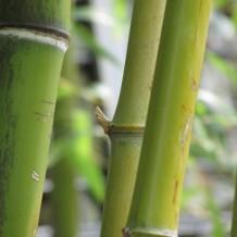 Le bambou une plante efficace pour soigner plusieurs maux - Comment traiter le bambou ...