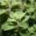 L'origan, une plante dotée d'un excellent arôme